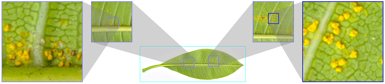 Multilevel focus+context visualization of a Plumeria rubra leaf with frangipani rust. Source image: 10496×3328 (Data source: S. Fraser-Smith, Wikipedia)